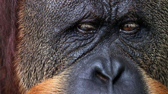 Puan yang lahir pada 1956 silam telah memiliki keturunan sebanyak 11 ekor anak orangutan dan 54 anak cucu yang kini tersebar di seantero penjuru dunia.