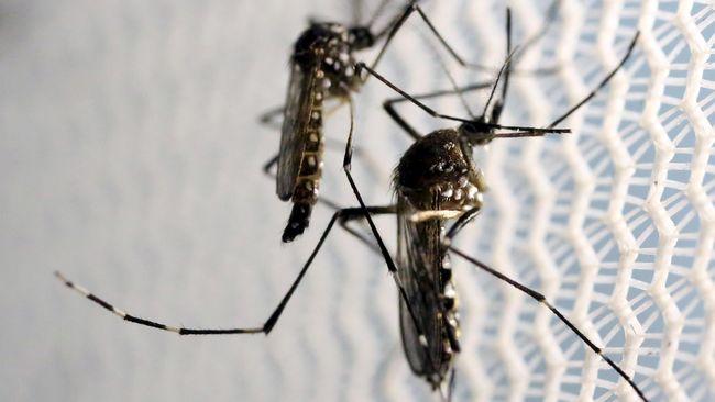 Nyamuk Aedes aegypti pembawa virus sangat senang berada di sekitar manusia. Mereka tinggal di dalam rumah dan di luar rumah.
