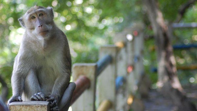 Penyerangan seekor monyet di wilayah Palmerah, Jakbar menjadi sorotan publik usai terekam video hasil kamera CCTV.