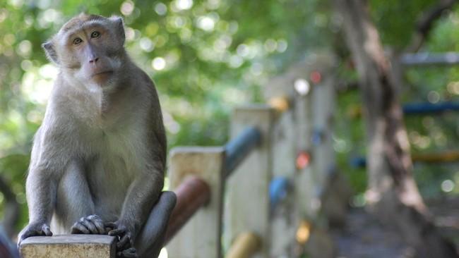 Polisi Selidiki Balita Diserang Monyet di Palmerah