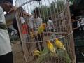Cerita Unik 'Budak-budak' Burung Lovebird