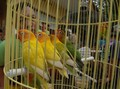 Kisah 'Priyayi' dan Kicau Burung Pendulang Prestasi