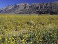 Mekarnya Bunga Langka di Lembah Kematian
