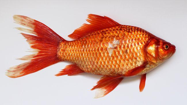 Remaja Di Jepang Dihukum Makan 30 Bangkai Ikan Mas Koki