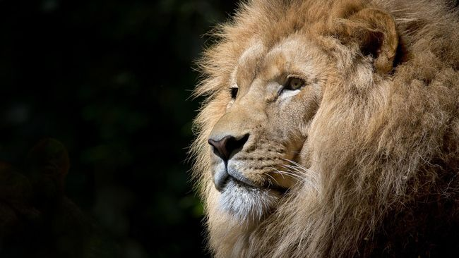Sebanyak delapan ekor singa di Kebun Binatang Nehru di Hyderabad, India, dilaporkan positif terinfeksi virus corona.