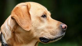 Dilarang Jualan dan Makan Daging Anjing di Siam Reap, Kamboja