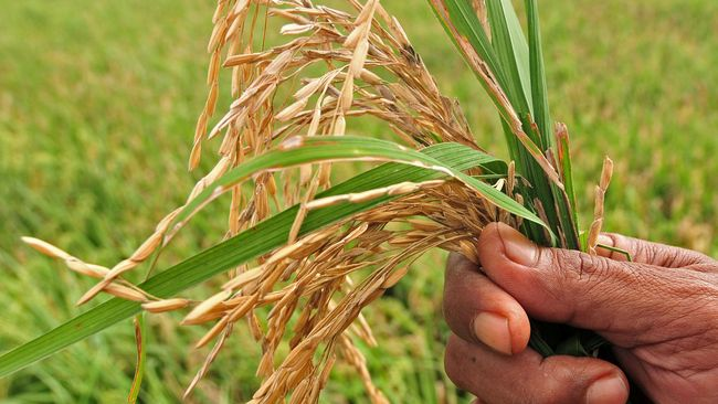 Pemuliaan tanaman menggunakan teknologi nuklir itu membuat usia panen padi Rojolele lebih cepat dan hasilkan beras yang lebih pulen.