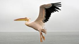 750 Pelikan Mati di Senegal Positif Flu Burung
