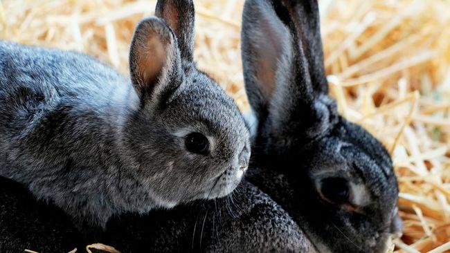 Seekor kelinci bernama Mick dinobatkan sebagai kelinci tertua di dunia versi Guinness World Records.
