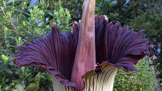 Bunga bangkai raksasa Amorphophallus titanum telah mekar di Lampung.