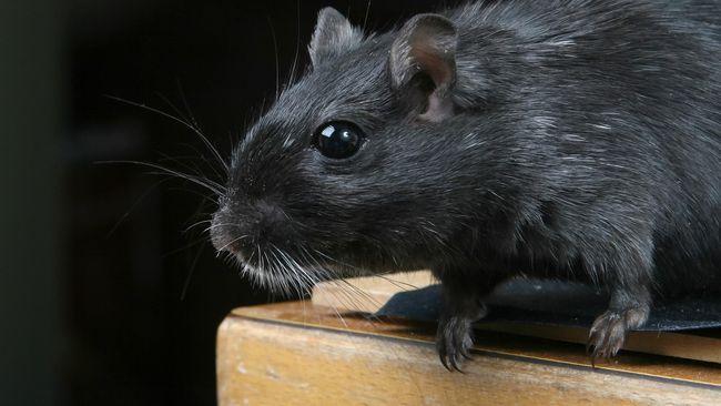 Virus hanta ada jauh sebelum corona menjadi pandemi di dunia. Virus ini menyebar lewat tikus dan tidak menular antar-manusia.