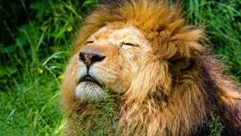 4 Singa Kebun Binatang Barcelona Positif Corona