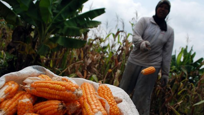 Pada tahap awal, Perum Bulog akan mengimpor 70 ribu ton jagung. Impor tersebut paling lambat masuk pada 20 Desember 2018.