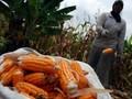Jagung Impor Bakal Dijual Rp4.000 per kg ke Peternak
