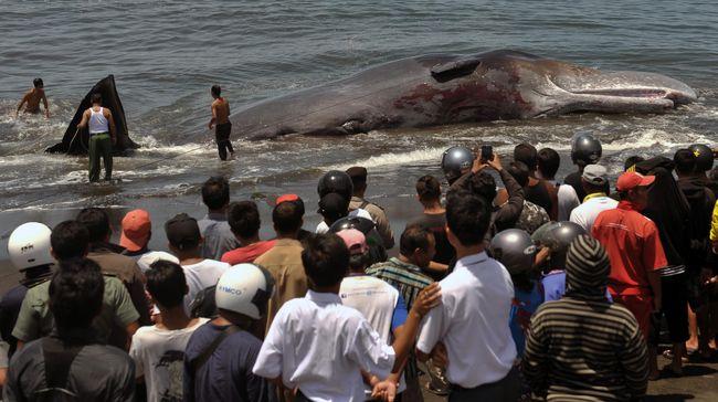 Sebanyak 400 lebih paus ditemukan mati terdampar di Australia. Kejadian paus mati massal itu juga terjadi di negara lain.