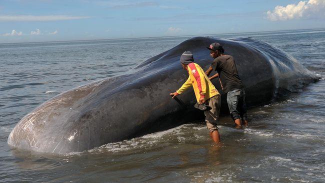 Berbagai sampah seberat 100 kilogram mulai dari kantong plastik, jaring, hingga tali ditemukan dalam perut paus jantan tersebut.