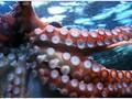 Penampakan Gurita Terdalam Dunia Ditemukan di Samudera Hindia