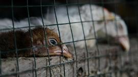 Fakta Virus H10N3, Kasus Flu Burung Langka di China