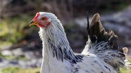 Aljazair Darurat Nasional Usai Ribuan Ayam Kena Flu Burung