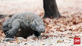 KLHK soal Jurassic Park NTT: Tak Boleh Satu Komodo Pun Mati