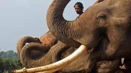 Gajah Aceh Ditemukan Mati Tanpa Gading
