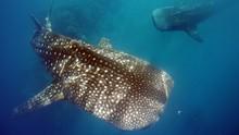 Terkibas Ekor Hiu Paus saat Snorkeling, Penyelam Cedera