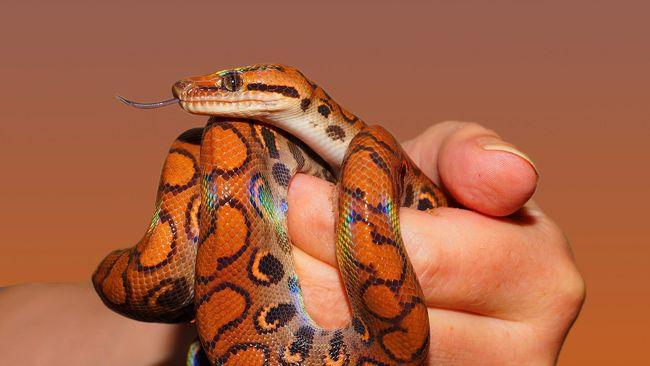 Mengonsumsi daging ular dipercaya dapat memberikan manfaat kesehatan. Benarkah demikian?