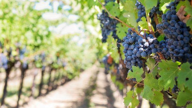 Kebun anggur mulai banyak bermunculan di Yogyakarta. Wisata kuliner sekaligus edukasi bisa dilakukan selama kunjungan ke sana.