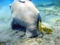 Bayi Duyung Laut Thailand Tewas Tersumbat Sampah Plastik