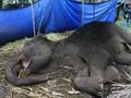 Gajah Mati di Kebun Binatang Bandung Dijadikan Bahan Edukasi