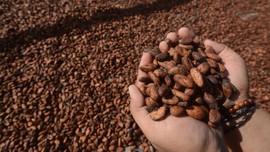 Kakao dan Kejayaan yang Hilang di Tanah Papua