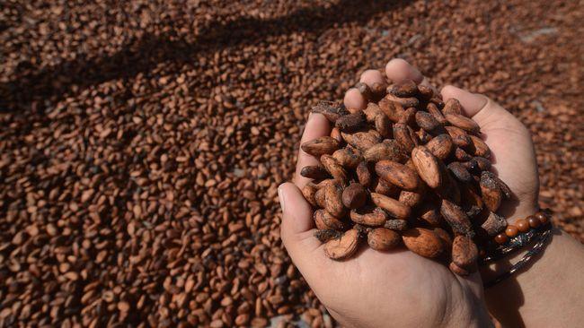 Papua pernah mengalami masa kejayaan sebagai produsen kakao pada 2005-2010. Kini, kejayaan itu hilang.
