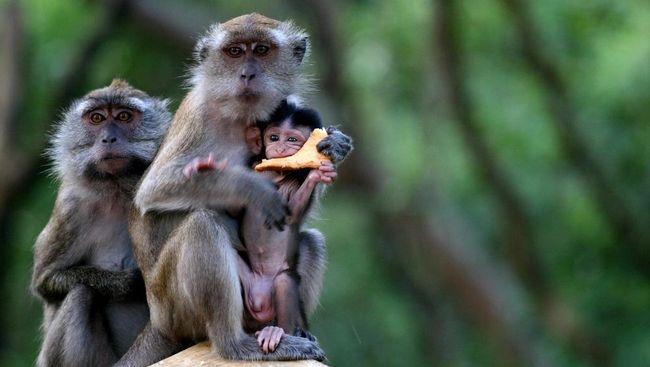 Monyet Curi Sampel Darah Pasien Covid-19 di India