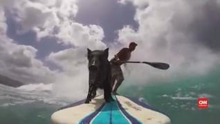 Perkenalkan Kama, Babi yang Berselancar di Pantai Hawaii
