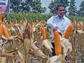 Kementan Kekeh Produksi Jagung Tahun Ini Surplus