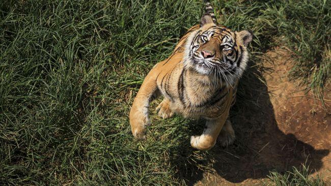 Laporan terbaru bertajuk All India Tiger Estimation Report 2018 mencatat populasi harimau India di alam liar kini mencapai 3.000 ekor.