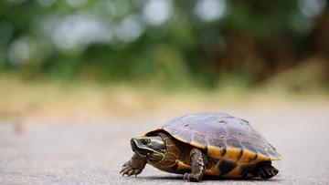Risiko yang Bisa Terjadi Saat Anak Pelihara Kura-kura