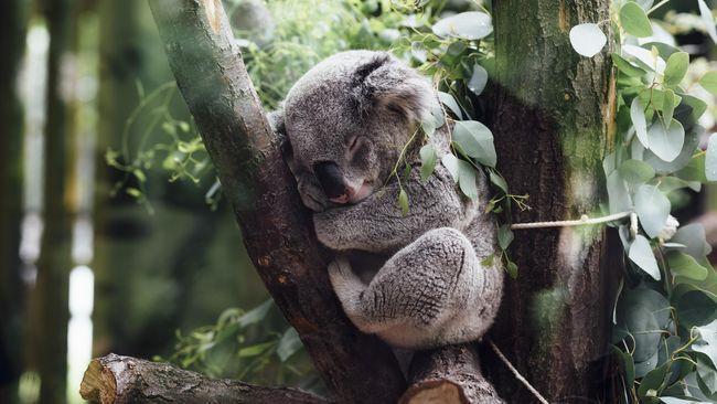 Koala Terancam Punah Akibat Karhutla Australia