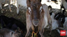 Beda Daging Kambing dan Daging Domba