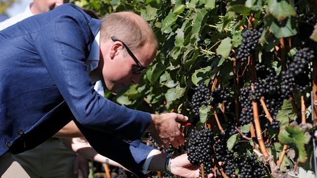 Pangeran William memetik anggur dari kebun anggur saat mengunjungi pabrik wine Mission Hill di Kelowna, British Columbia, Kanada. Mission Hill telah mendapat label The Gold Standard of Wineries. Kebun anggur ini sangat luas dan memproduksi wine berkelas. (REUTERS/Chris Wattie)