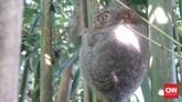 Berkunjung ke Sulawesi Utara, selain wisata bahari dan kuliner, ada objek wisata lain yang wajib dikunjungi: tarsius dan kuskus beruang.