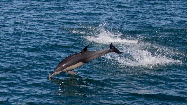 Robot lumba-lumba itu diklaim dapat menyelam seperti lumba-lumba asli dengan dukungan teknologi animatronik.