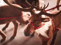 Sinterklas Terancam 'Kehilangan' Rusa Kutub