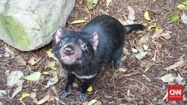 Tasmanian Devil Ditemukan Lagi di Alam Liar Australia