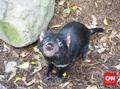 Tasmanian Devil Australia Lahir, Terakhir 3.000 Tahun Lalu