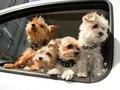 Hewan Peliharaan Pengaruhi 'Selera' Anda dalam Memilih Mobil