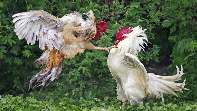 Sabung Ayam Kembali Menggeliat di Tahun Ayam Api