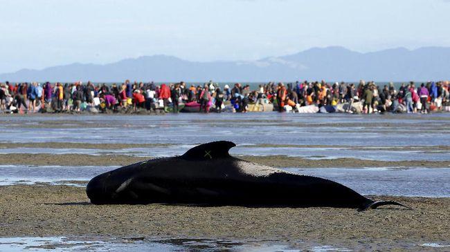 Seekor paus pilot jantan ditemukan mati di Thailand selatan setelah menelan lebih dari 7,7 kilogram sampah berupa kantong plastik.