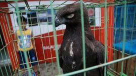 6 Elang Brontok Dilepasliarkan ke Alam Aceh
