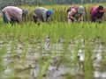 Pulang Pisau Tambah 56 Ribu Hektare Kembangkan Food Estate